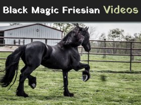 Black Magic Friesian