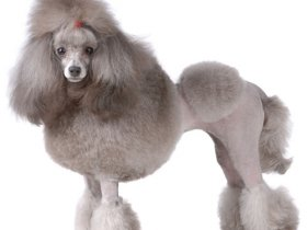 Popular Dog grooming & Poodle videos