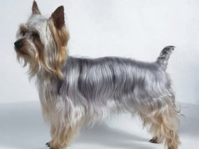 Silky Terrier Training