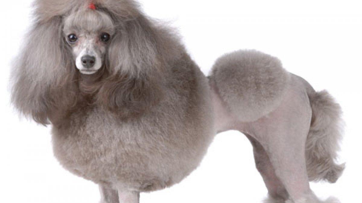 Popular Dog Grooming Poodle Videos